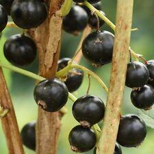 Pack of 3 Blackcurrant Ben Sarek Plants in 9cm pots British Grown: