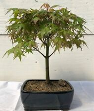 """Green Japanese Maple Bonsai Tree 15 years old 18"""" tall Deciduous Outdoor"""