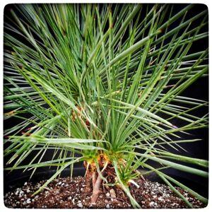 Yucca linearifolia blue multihead! 5 Trunks + 1 shoot, stem/plant/total 20+2+2+1