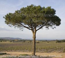 Pino piñonero mediterráneo-pino piñonero 6 frescura semillas Pinus pinea * también apto bonsai