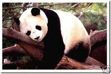 Sleepy Panda - Animal Wildlife Nature Print  NEW POSTER