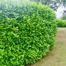 10 Cherry Laurel Evergreen Hedging Plants 30-50cm potted not bare root shrubs