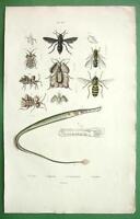 WASPS Fly Pipefish - SUPERB H/C Color Antique Print