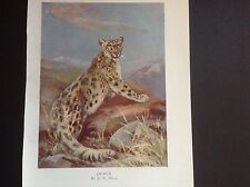 """C E Swan colour print of a Snow Leopard over 100 years old 8"""" x 6"""" image size"""