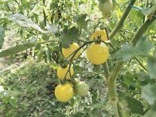 Lot de 20 graines de tomate cerise blanche (BIO)