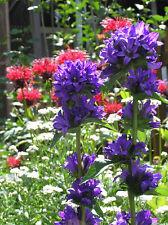 """Clustered BELLFLOWER ~Violet-Blue~ """"Campanula Glomerata"""" 25+ Seeds"""
