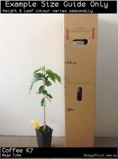 Coffee K7 (Coffea arabica) Fruit Tree Plant