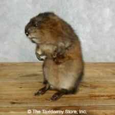 #18013 E | Muskrat Life-Size Taxidermy Mount on Driftwood - Squirrel Rodent