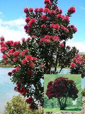 Roter Riese im Garten: Neuseeländischer Weihnachtsbaum / winterhart // Samen
