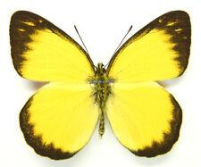 Unmounted Butterfly/Pieridae - Delias aurantiaca, male, Indonesia