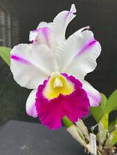 Rlc. Shirley Byrnes 'N.N'. Cattleya Hybrid Orchid Plant. Blooming Size