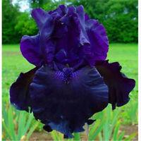 2 Mixed Fancy Bearded Iris Roots Rhizomes Bulbs Plant Seed Gardening Flower Top