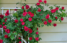 25 pcs Rare Red  Climbing Rose Seeds Perennial Flower seeds for Garden Decor