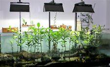 Rhizophora mucronata  SEEDS Mangrove Hydroponics Aquarium