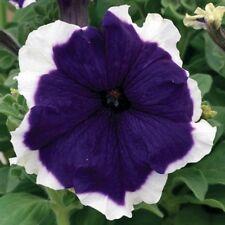 Petunia Hulahoop Blue Flower Seeds (Petunia × hybrida) 40+Pellets