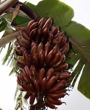 5 Nos.Bare root Red Banana