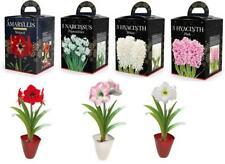 Hyacinth Narcissi Amaryllis Hippeastrum Gift Boxed Bulbs Christmas Gift