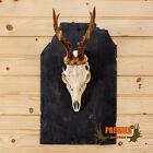 Roe Deer Antler Skull European Mount SW10694