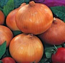 Full Sun Temperate Onion Vegetable Plant Seeds