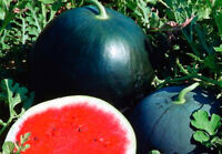 Watermelon Seeds Beauty seeds from Ukraine, early/ 50 SEEDS