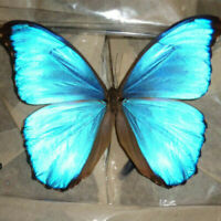 COLLECTION unmounted butterfly nymphalidae morpho menelaus Brazil #10