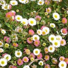 Erigeron Karvinskianus Profusion-50 Seeds- BOGO 50% off SALE