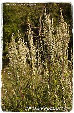 Artemisia VULGARIS sono ugwort' [EX. Co. Durham] 2000+ Semi