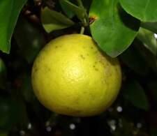 Huile Essentielle Pamplemousse 10ml pure naturelle