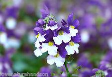 NEMESIA Strumosa BLUE & WHITE Flowers Bedding Hanging Baskets Trailing 60 Seeds