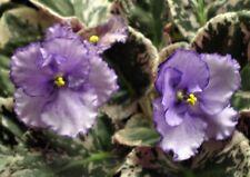 African Violet Leaves ~ Rebel'S Purple Shadows ~ Shades of Purple