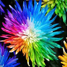 GUT 100pcs Rainbow Chrysanthemen Samen Home Blumengarten Bonsai Pflanze bunte