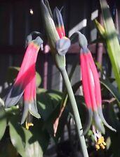 Rare Offer Phaedranassa tunguraguae Plant Bulb For The Collector