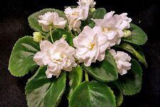 African Violet Lemon Kisses Starter Plant Standard Semi Double