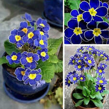 100Pcs/Pack Blue Evening Primrose Flower Seeds Plant Potted Pansy Garden Decor