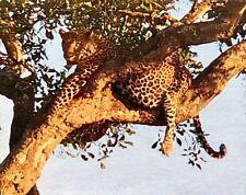 """Leopard in Tree 520 pc/16""""x20"""" Jigsaw Puzzle Original/Rare/Nib/Age 9+ L@K & See"""
