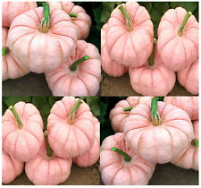 (5) PORCELAIN DOLL F1 PINK Pumpkin Seeds - Combined S&H