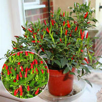 Thai Sun Hot Pepper Seeds Capsicum Annuum Ornamental Chili Seeds Mini Hot Pepper