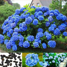 30Pc Beautiful Garden Potted Blue Hydrangea Flower Seed Flower Plant Rare Seeds