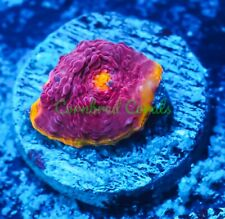 New listing Cornbred's Rainbow Bahama Mama Chalice - Frag - Live Coral