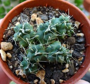 cumulopuntia subterranea pulcherrima cacti kakteen succulentas opuntia 仙人掌 サボテン