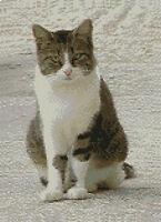 "White Tabby Cat Counted Cross Stitch Kit 8"" x 11"" 20.3cm x 27.9cm C2208"