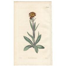 Curtis Botanical Mag antique 1821 hand-colored engraving Pl 2262 Cineraria