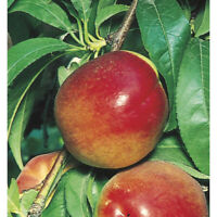 Red Gold Nectarine, Self Pollinating, 1 Gallon Potted Plant