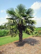 Chinese Windmill Palm 10 Seeds - Trachycarpus