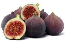 Fig Tree 'Olympian' Ficus Carica Live Plant Tree Organic Very Sweet Bare Root
