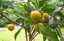 Bruce canistel (Eggfruit) Tropical Fruit Trees
