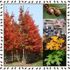 Pin Oak / Swamp Spanish oak - Quercus palustris (10+ viable seeds per package)