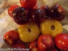 Alki Blue Tomato Seeds 20 Open Pollinated Organic Garden Seeds Plus Free Gift