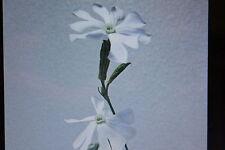10 Samen afrikanische Traumwurzel,Silene capensis#375