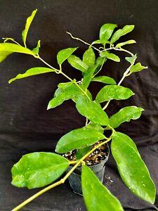 Hoya graveolens, wax plant